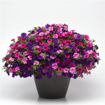 Sweet Melody combo Hanging Basket (c16)